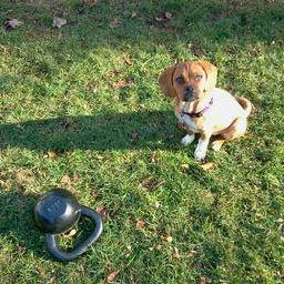 "Kettlebell carries and swings + puggle chasing feels more like ""play"" than exercise!"